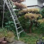 木の伐採前 はしごを使って上から切っていきます。