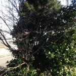 木の伐採前2