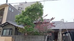 庭木の手入れ前1